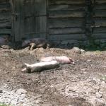 Schweine!
