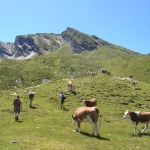 Zulaufende Rinder - eine total harmlose Situation in den Bergen
