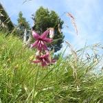 Türkenbundlilie, eine sehr seltene Blume