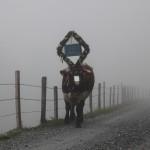 Wie ein Fabelwesen kommt die Kuh aus dem Nebel wieder zurück zur Hütte