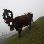 Warten heißt es nun auch für diese Kuh, deren Namen ich mir nicht gemerkt habe