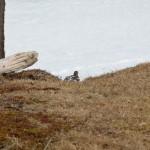 Alpenschneehuhn Großarltal