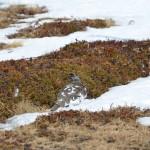Alpenschneehuhn im Frühjahrsgefieder