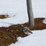 Alpenschneehuhn Großarltal - Gefiederfärbung exakt dem Zaunstempel angepasst