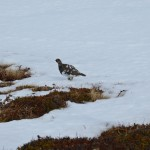 Alpenschneehuhn gedenkt nun doch zu fliehen