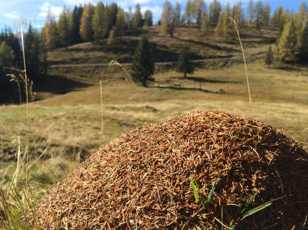 Ameisenhaufen im Großarltal mit der Fähigkeit den Winter zu deuten