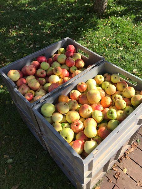 Apfelernte Sommer 2018
