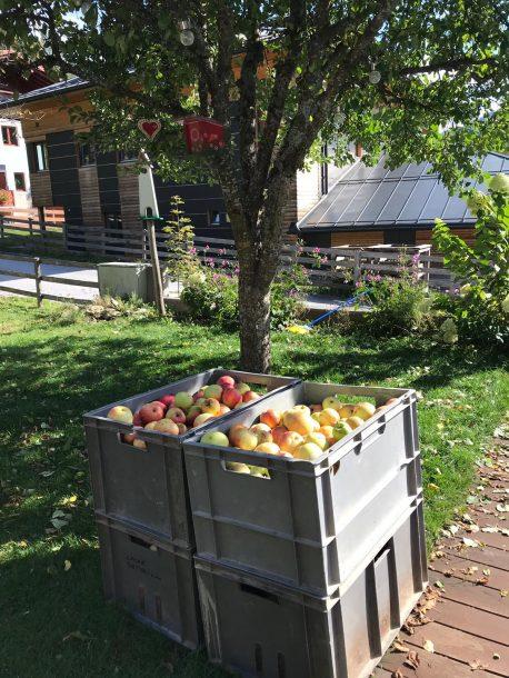 Apfelernte vom eigenen Apfelbaum