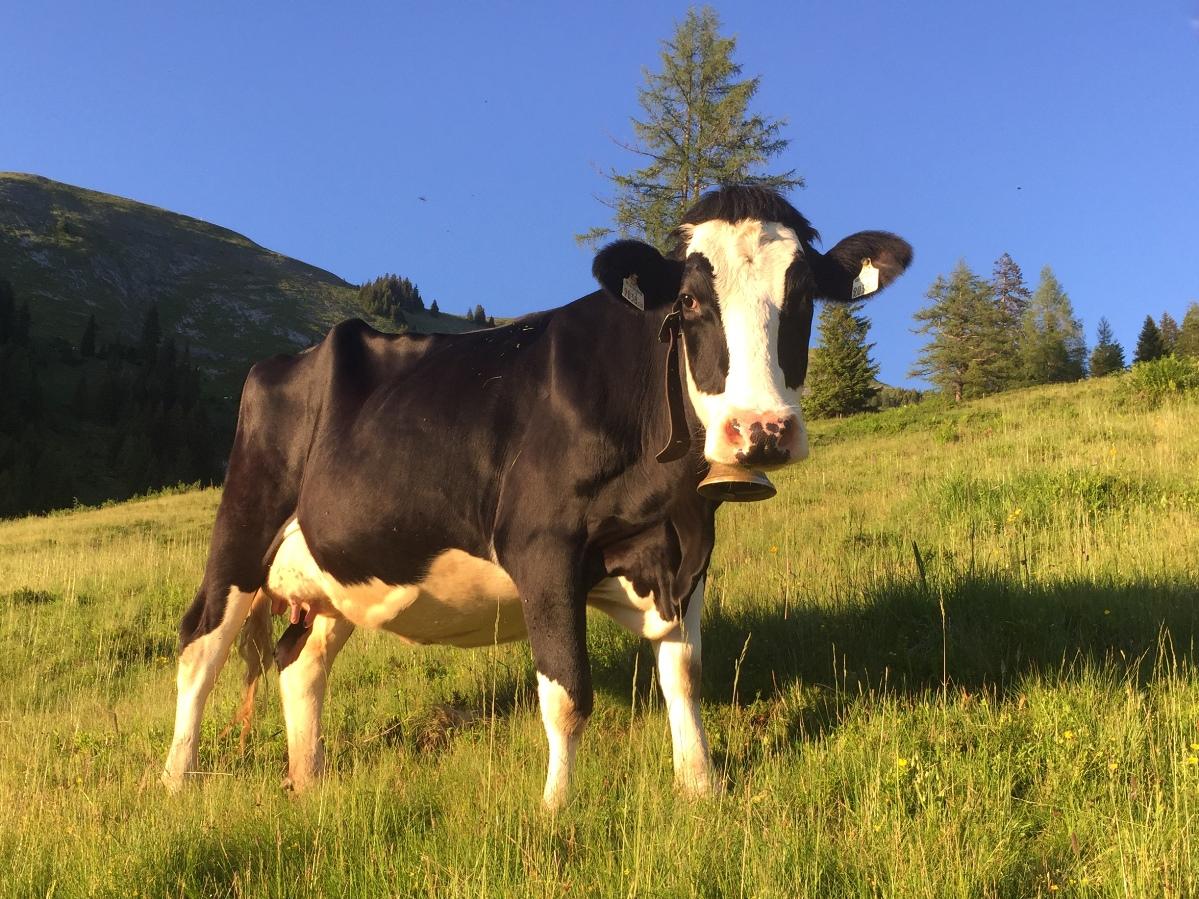 Etwas hölzern steht sie hier da auf der Almweide der Karseggalm im Sommer 2016. Aber ansonsten ist sie eine stattliche Kuh geworden. Im Hintergrund die Kitzsteingabel (2.037 m).