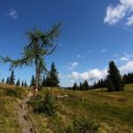 Einen harten Kampf gegen Wind und Wetter führt diese Lärche am Weg zum Remsteinkopf.