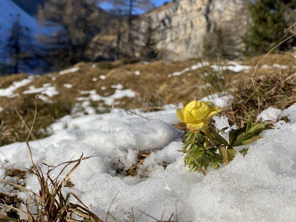 Der ewige Kampf in der Natur. Die Butterblume ist eigentlich eine Frühlingsblume, versucht sich aber hier sogar Ende November noch gegen den Winter zu behaupten.