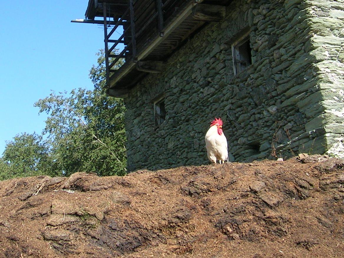 Misthaufen im Großarltal mit dem sprichwörtlichen Hahn drauf