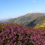 Blühendes Heidekraut - Es wird Herbst auf den Bergen.