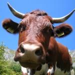 Sehr schöne Pinzgauer Kuh vor dem Draugstein auf den Draugsteinalmen