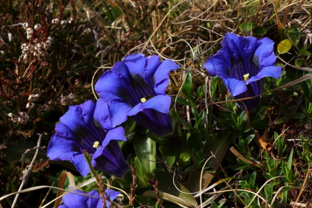 Stengelloser Enzian - Tief blau im Frühling