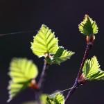 Junge Blätter an unserem Wappenbaum, der Erle.