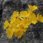 In herrlichem Gelb leuchtet dieses Primelgewächs vor den grauen Felsen
