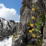 Jede Felsritze ist übersäht vom leuchtend gelber Pracht