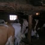 Melkvorgang im Almstall der Glettnalm