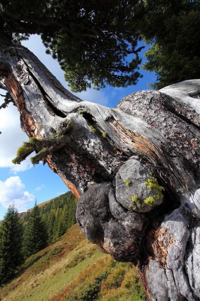 Diese Zirbe oberhalb der Ellmaualm steht auf einem kleinen Fels und hat wohl einen unglaublichen Lebenswillen. Das Wasser zieht sie aus meterlangen Wurzeln aus dem Boden.