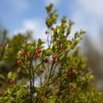 Heidelbeeren Blüte 2