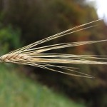 Getreide an einer Güterweg-Böschung