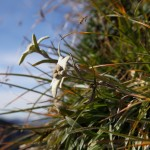 Edelweiss - Wanderers Stolz und Freude