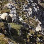 Ratespiel: Wie viele Schafe sind es?