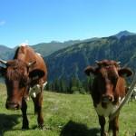 Pinzgauer Rinder auf der Hinterkaseralm (Hubalmtal)
