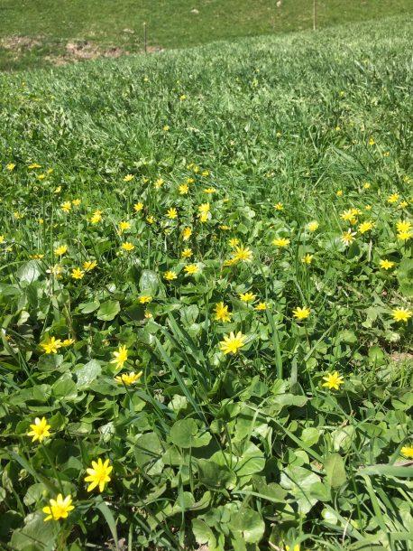 grossarl-frühlingsblumen