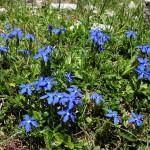"""Frühlingsenzian - im Volksmund """"Schuastanagei"""" - überziehen die Wiesen"""