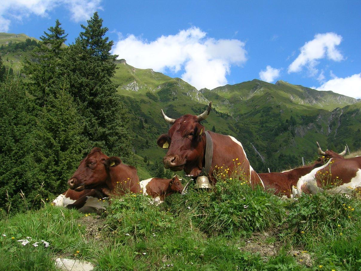 Kühe auf der Almweide im Großarltal. Lassen sich durch ihr Fressverhalten Rückschlüsse auf den kommenden Winter ziehen?
