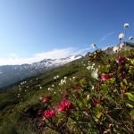 Wollgras und Almrosen vor der traumhaften Kulisse des Keeskogels