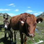 Die Kuh hält sich einen Esel - Herde unterm Schöderhorn in der Kreealm