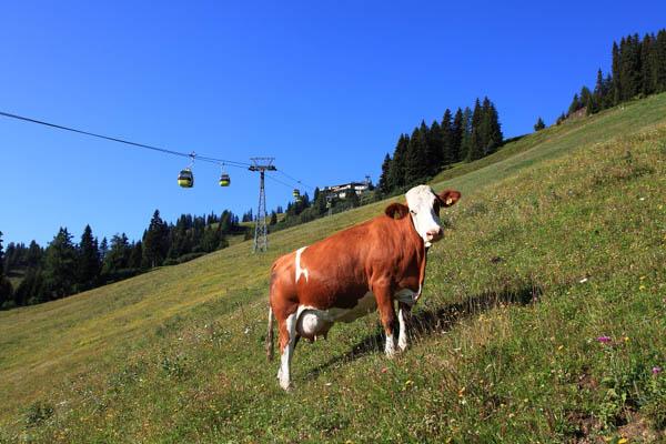 Kuh auf Skipiste