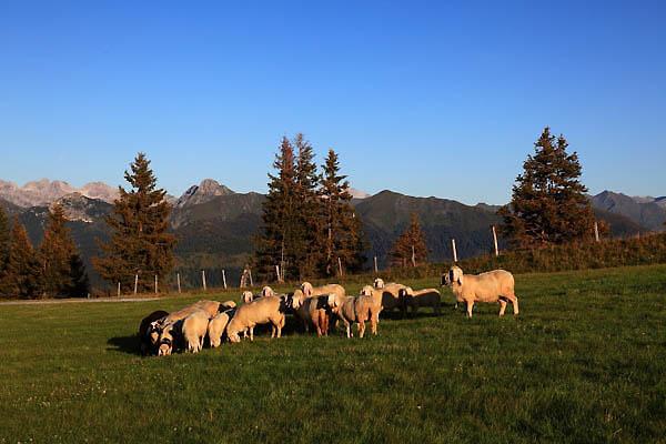 Schafe auf der Piste Nr. 3
