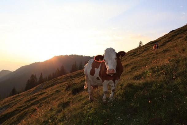 Auch Kühe können eventuell einen Roahax haben
