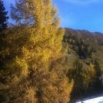 Lärchen auf der Loosbühelalm - zuerst wirft die Lärche die Nadeln ab, dann wird es erst endgültig Winter.