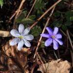 Leberblümchen - Ungleiche Geschwister