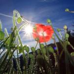 Späte Sommerblüte - aufgenommen an einer Hauseinfriedung am Stadluck-Güterweg