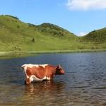 Kuh am oberen Paarsee