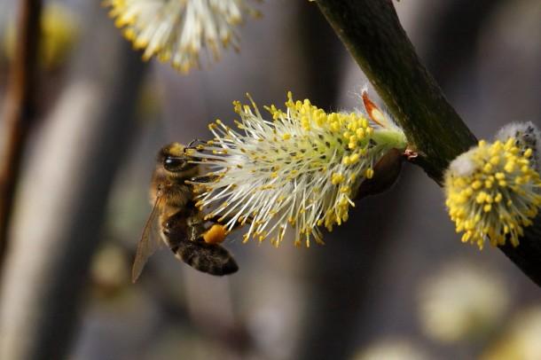 Fleißig sammeln die Bienen Nektar auf den üppig blühenden Weidenkätzchen