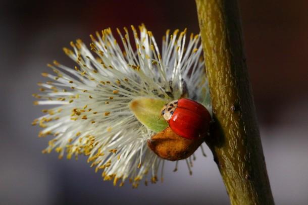 """April 2014: Insektion freuen sich über den ersten Nektar des Jahres auf den Weidenkätzchen (""""Poimkatzl"""")"""