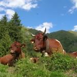 Almfrieden - Pinzgauer Kuhherde auf der Kreealm