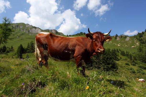 Pinzgauer Kuh auf der Aulam