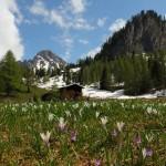 Krokusse und Alpenglöckchen vor der Kulisse des Draugsteins