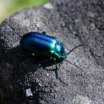 Farbenfroher Käfer