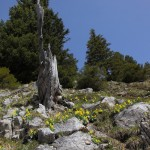Auf und auf ist der Fels übersäht von der seltenen Aurikel