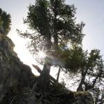 Die Zirbe gilt als Lebenskünstler im felsigen Hochgebirge