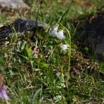 Soldanelle, Kleines Alpeglöckchen, weiß 1